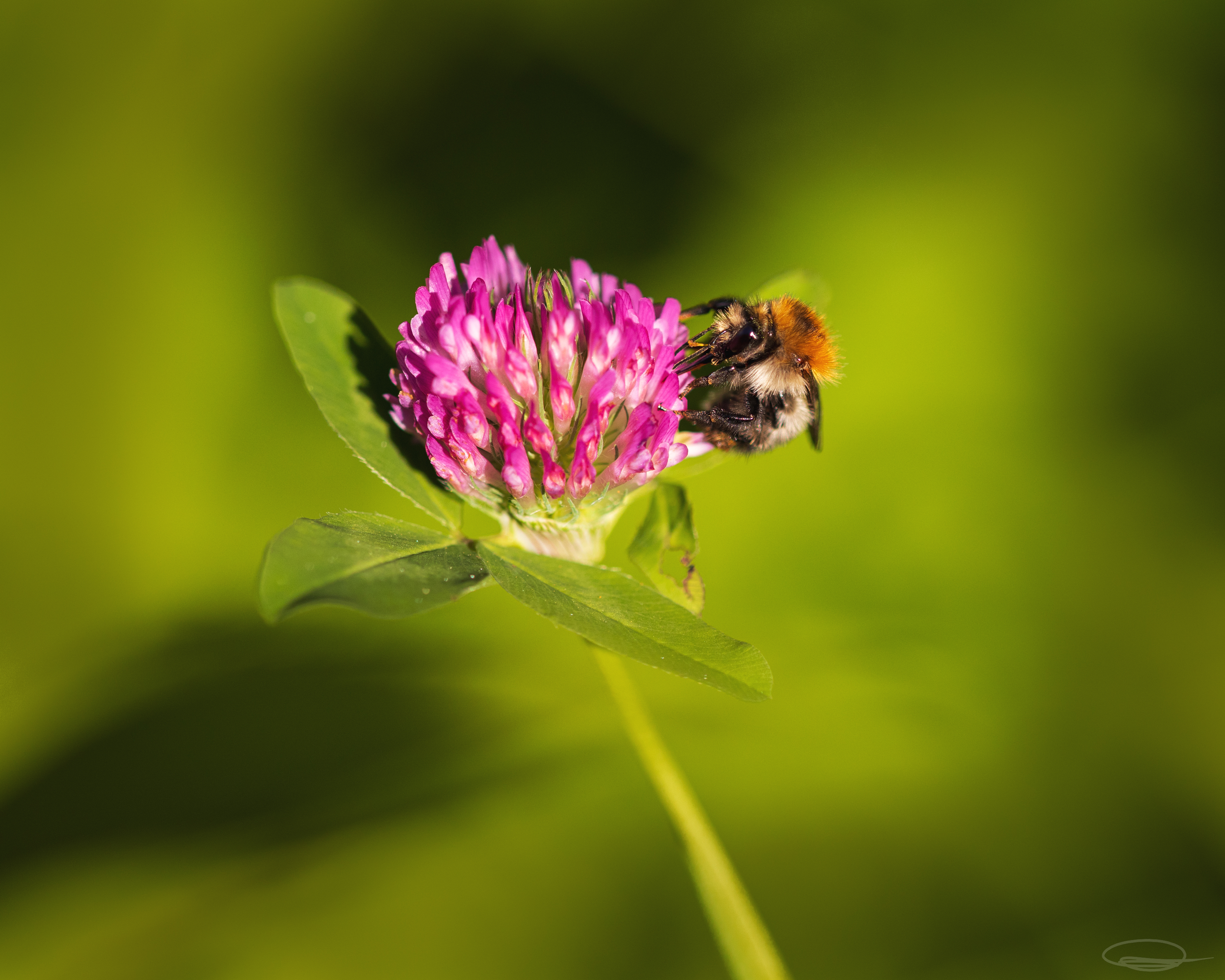 Bumblebee - Bombus Pascuorum - on Clover Blossom