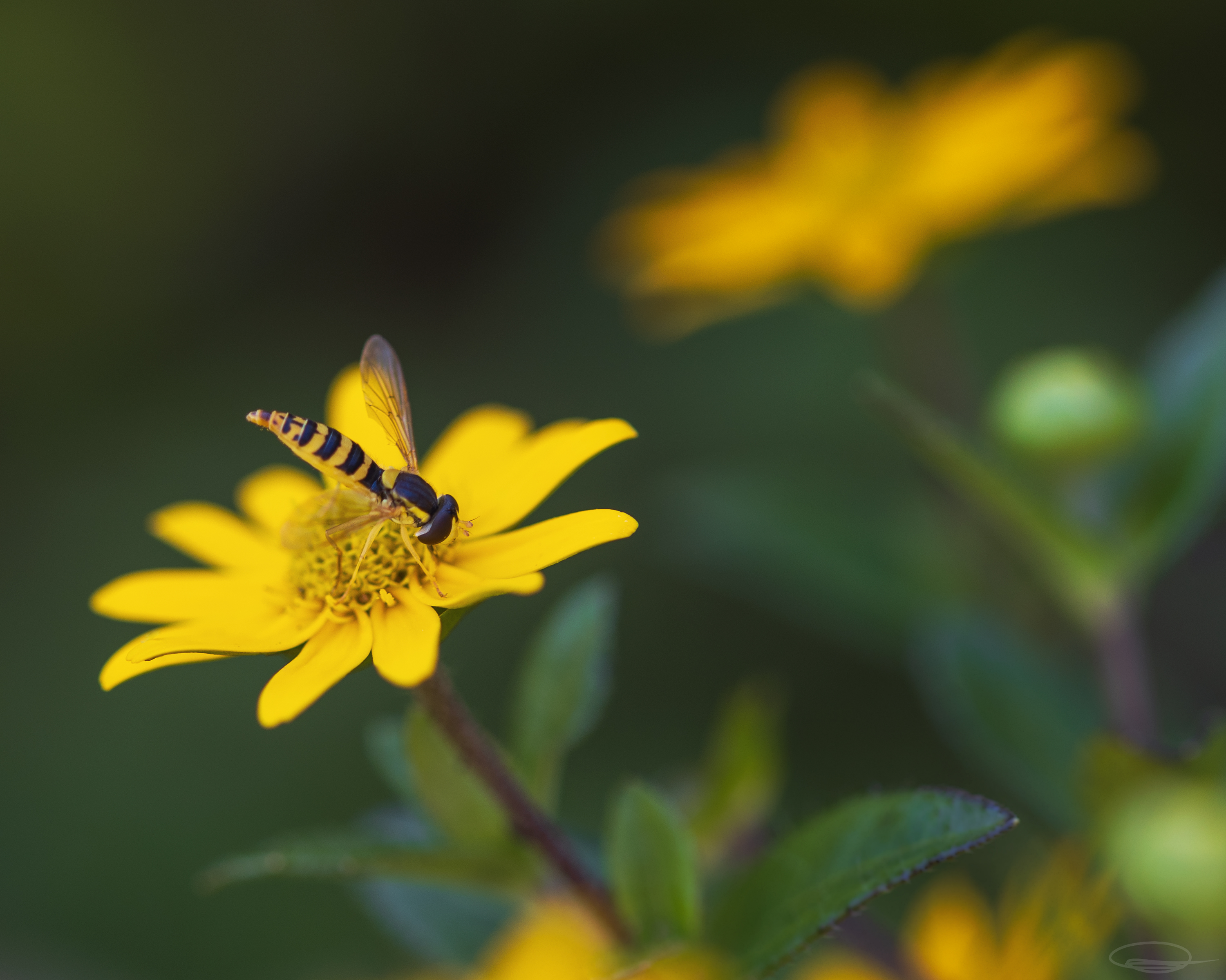 Slim Hoverfly on Yellow Flower