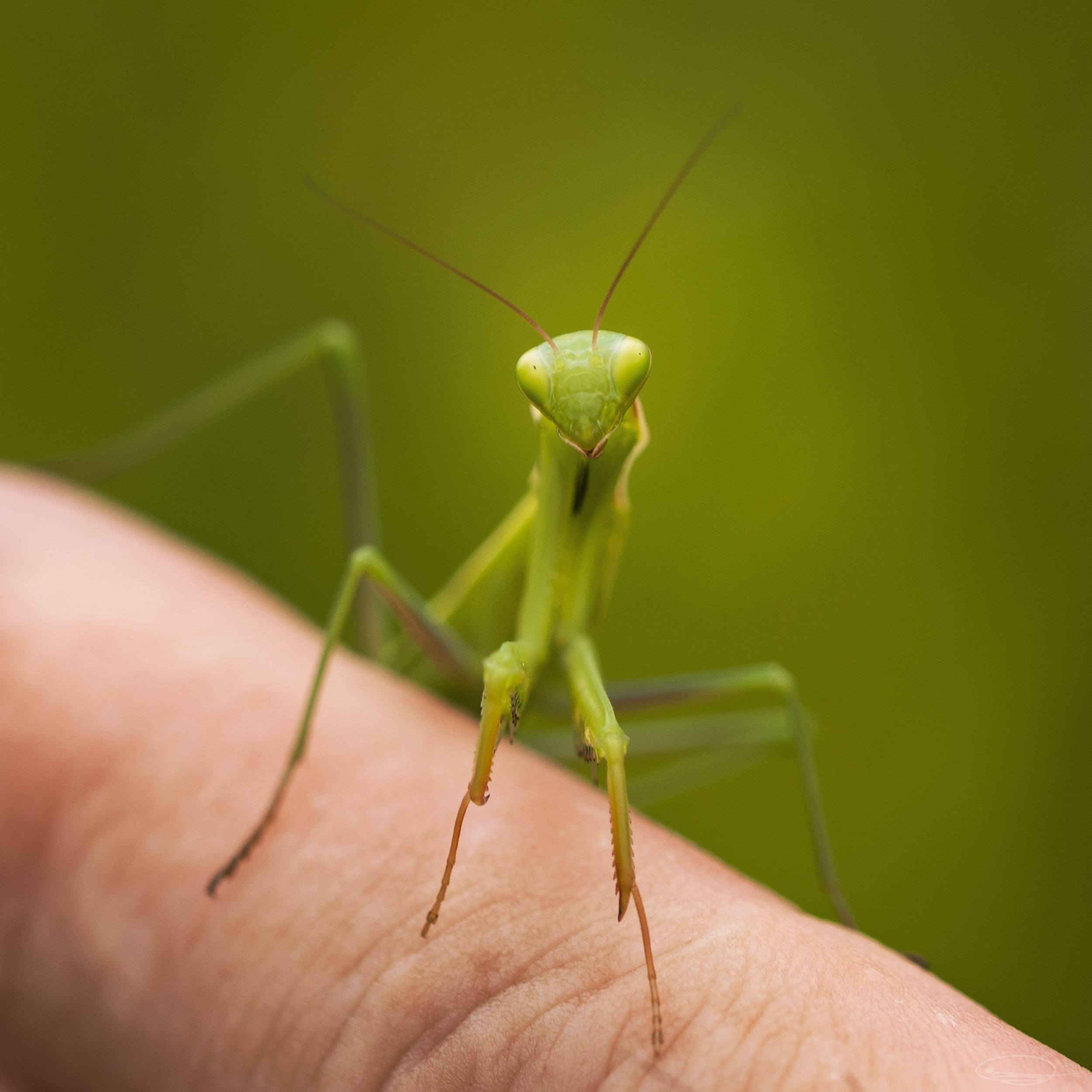 Young Green Mantis